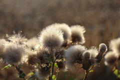 Thistle Heads Stock Photos