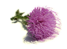 Thistle - Health from nature Stock Image