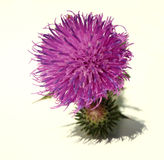Thistle - Health from nature Stock Images