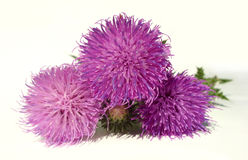 Thistle - Health from nature Royalty Free Stock Photos