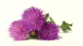 Thistle - Health from nature Royalty Free Stock Image