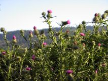 Thistle Hedge. A gathering of thistles blooming against a backdrop of wooded hills Royalty Free Stock Image