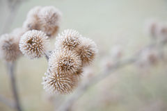 Thistle in hoarfrost Royalty Free Stock Photo