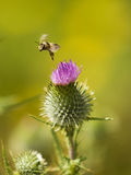 Thistle And Honey Bee. A honey bee is launching into flight after taking the nectar from a thistle flower royalty free stock image