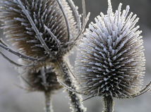 Thistle with ice Royalty Free Stock Photo