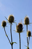 Thistle isolated over blue sky background Stock Image