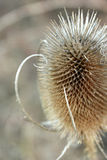 Thistle Isolated in Winter Stock Photos