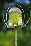 Teasel plant is laced with small purple flowers Stock Photography