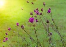 Thistle, lat, чертополох, цветок Thistle на восходе солнца в золотых тонах, селективном фокусе, Thistle символ Шотландии Стоковая Фотография RF