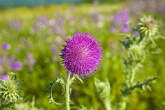 Thistle in meadow Royalty Free Stock Photography
