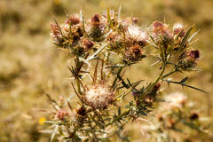 Thistle Stock Photography