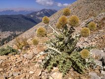 Thistle on Mount Tahtali, Turkey Royalty Free Stock Photo