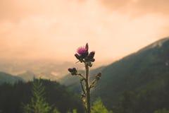 Thistle on a mountain Stock Photos