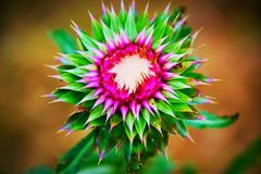 Thistle. Mountain thistle flower royalty free stock photography