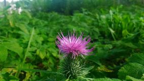 Thistle Stock Images