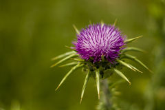 Thistle. The thistle, the national symbol of Scotland stock photography