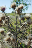Thistle Stock Image