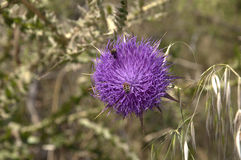 Thistle on Nature Reserve at Skala Kalloni Lesvos Greece Stock Image