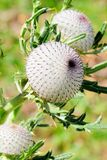 Thistle no.3 Royalty Free Stock Image
