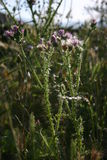 Thistle. Overgrown field is haven for wild thistles Royalty Free Stock Photo