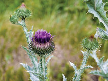 Thistle. Pink flower and buds of a thistle, macro Stock Images