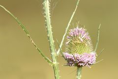 Thistle pink flower Stock Photo