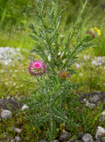 Thistle plant. Thistle flowers and leaves with sharp prickles on the margins in Montenegro Stock Photos