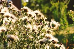 Free Thistle Plant In Bloom Close Up Stock Image - 144942861