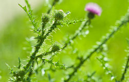 Thistle plant Royalty Free Stock Photography