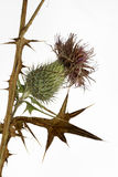 Thistle plant (Silybum marianum) Royalty Free Stock Photos