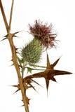 Thistle plant (Silybum marianum) Stock Image