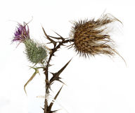 Thistle plant (Silybum marianum) Royalty Free Stock Photography