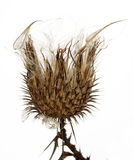 Thistle plant (Silybum marianum) Stock Photography