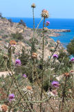 Thistle plant and stone in front of sea. Colorful thistle plant and rocky seaside with the Mediterranean sea at the background Stock Images