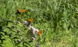 Thistle plant with three Aglaia butterflies in a row stock image