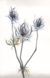 Thistle plant watercolor painting. The hand drawn watercolor of thistle (Echinops) plant Stock Image