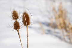 Thistle plant in winter Royalty Free Stock Photos