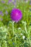 Thistle with purple blossom in meadow in morning light Stock Images