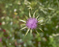 Thistle purple flower Stock Photo