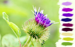 Thistle purple flower Royalty Free Stock Photos