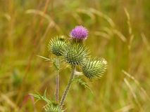 Thistle purple flower Stock Image