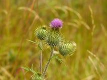 Thistle purple flower Stock Image