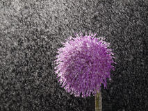 Thistle and rain Royalty Free Stock Images