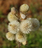 Thistle Seed Balls. Royalty Free Stock Photo