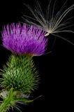 Thistle and Seed Stock Photo
