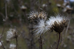Thistle and Seeds in Winter. Thistle with feathery seeds in winter Stock Image
