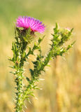Thistle. Shallow DOF Royalty Free Stock Photo
