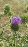 Thistle. Sharpen stickleback with the beautiful flower Royalty Free Stock Image