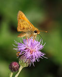 Thistle And Skipper Royalty Free Stock Photo