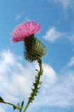 Thistle with sky Royalty Free Stock Photography